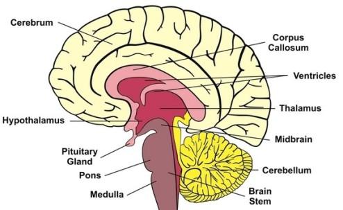 brain-diagram